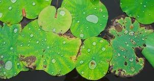 Lotus Leaf Fotos de archivo