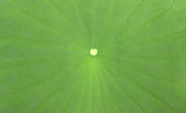 Lotus Leaf Foto de archivo libre de regalías