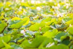 Lotus Leaf Stockfotos