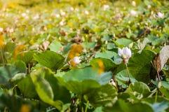 Lotus Leaf Lizenzfreies Stockfoto