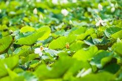 Lotus Leaf Royalty-vrije Stock Afbeeldingen