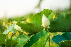 Lotus Leaf Stockfoto