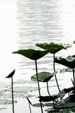 Lotus leaf. In the pond stock images