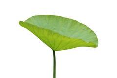 Lotus Leaf Arkivfoton