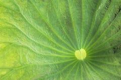 Lotus Leaf fotografia de stock royalty free