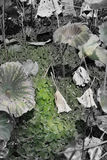 Lotus Leaf Imagem de Stock