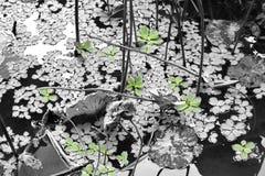 Lotus Leaf Foto de Stock