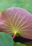 Lotus Leaf Lizenzfreie Stockfotografie