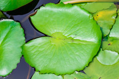 Lotus Leaf Photographie stock libre de droits