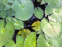 Lotus Leaf Stockfoto