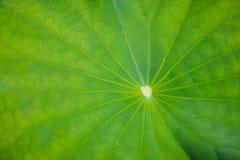 Lotus Leaf Foto de Stock Royalty Free