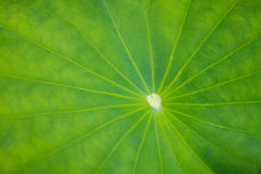 Lotus Leaf photographie stock