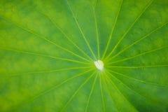 Lotus Leaf Fotografia de Stock