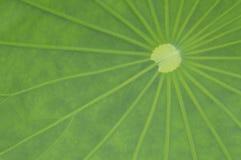 Lotus Leaf Fotografering för Bildbyråer