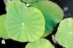 Lotus Leaf Imagenes de archivo