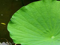 Lotus Leaf Stock Foto