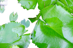 Lotus Leaf Immagine Stock
