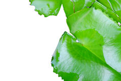 Lotus Leaf Fotografia Stock