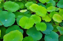 Lotus leaf. As a background royalty free stock images
