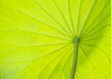 Lotus Leaf. The back of lotus leaf, focus on stalk, blur texture leaf Royalty Free Stock Images
