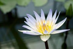 Lotus Leaf Background imagen de archivo libre de regalías