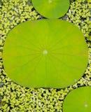 Lotus Leaf Background Stockfoto