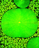 Lotus Leaf Background Stockbild