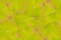 Lotus Leaf Background Imagem de Stock