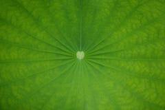 Lotus Leaf Background Royalty-vrije Stock Afbeeldingen