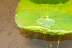 Lotus Leaf Background Royaltyfria Foton
