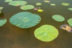 Lotus Leaf Background Fotografering för Bildbyråer