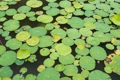 Lotus Leaf Background Royaltyfri Bild