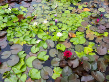Lotus Leaf Background Arkivbild