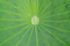 Lotus leaf background. Closeup of lotus leaf background Stock Image