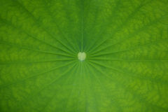 Lotus leaf background Royalty Free Stock Images