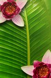 Lotus leaf background and flower lotus stock photos