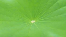 Lotus leaf for background Stock Image