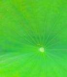 Lotus leaf background Stock Image