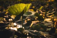 Lotus leaf background Royalty Free Stock Photos