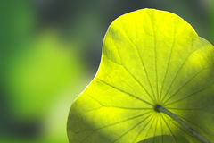 Lotus leaf. Beautiful lotus leaf as background royalty free stock image