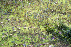 Lotus leaf and big duckweed in pond background in autumn Royalty Free Stock Photo