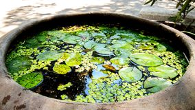 Lotus leaf in a big pot. Lotus leaf in a big pot of temple royalty free stock images