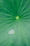 Lotus leaf. Clear water drop on big lotus leaf Royalty Free Stock Photo