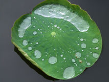 Lotus leaf. The details of the plants in the lotus leaf after the rain royalty free stock images