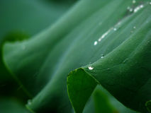 Lotus leaf and drip Royalty Free Stock Photos