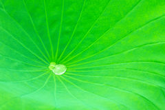 Lotus leaf. A droplet on the lotus leaf Royalty Free Stock Photos