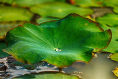 Lotus leaf. Royalty Free Stock Photo
