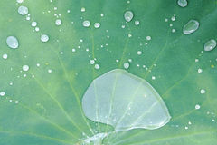 Lotus leaf and drops of water Stock Photo