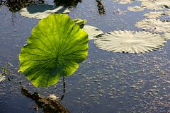 Lotus leaf. The duckweed floating in the water Stock Image
