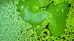Lotus leaf and duckweed. Stock Photography
